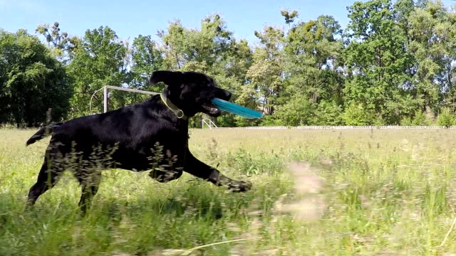 Black labrador runs with the frisbee. Slow motion.