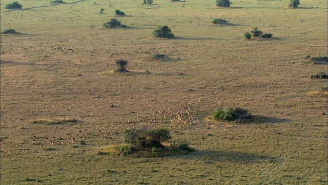 vidéos et rushes de black lechwe herd moving to the grasslands for water supply, bangweulu marsh, zambia, africa - marécage