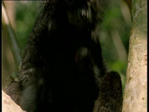 black lemur rubs millipede over body to kill parasites - キツネザル点の映像素材/bロール