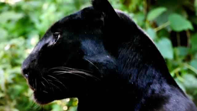 black leopard - leopard stock videos & royalty-free footage