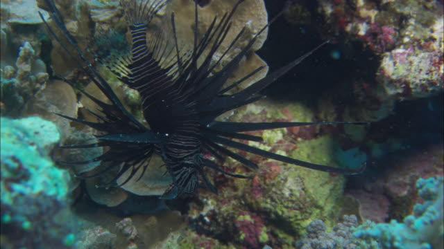 vídeos y material grabado en eventos de stock de cu black lionfish (family scorpaenidae) near corals in great barrier reef / queensland, australia - rascacio