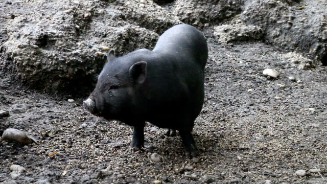Black little pig sniffing the ground in zoo