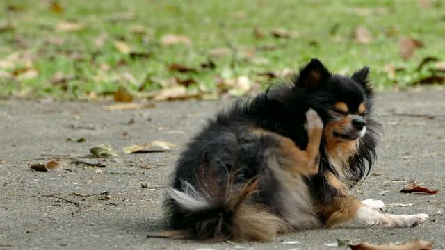 vídeos de stock, filmes e b-roll de preto de cabelos longos macho chihuahua cão coçando com pata - arranhado
