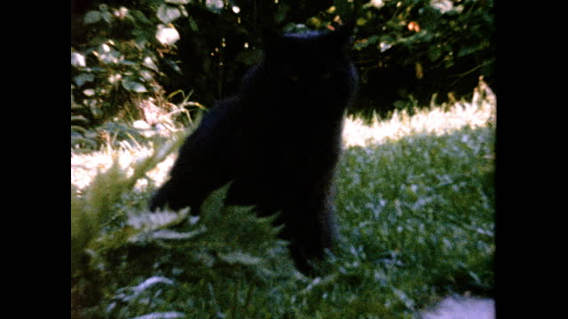 black longhair cat with yellow eyes stands on lawn and looks at camera - 黒猫点の映像素材/bロール