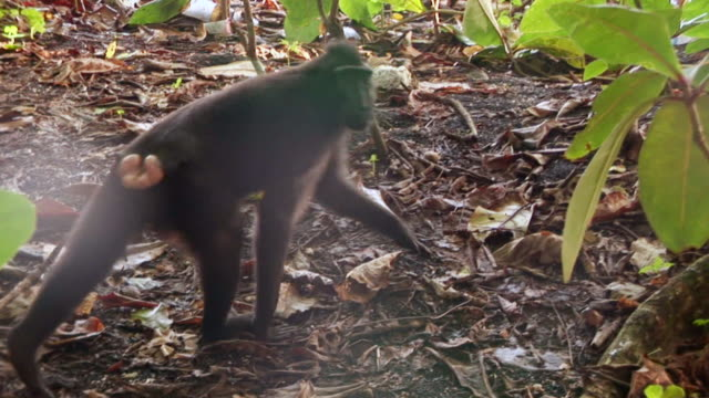 ms black macaque crossing track and looking / sulawesi, indonesia - macaque stock videos & royalty-free footage