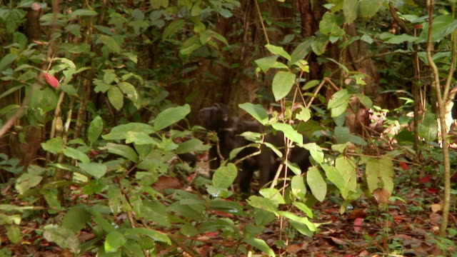 stockvideo's en b-roll-footage met ms pan black macaques walking through forest with female displaying anal swelling / sulawesi, indonesia - middelgrote groep dingen