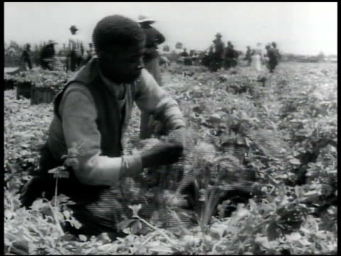 black male hands cutting celery stalk at root ms africanamerican male harvesting celery w/ others bg florida agriculture - celery stock videos and b-roll footage