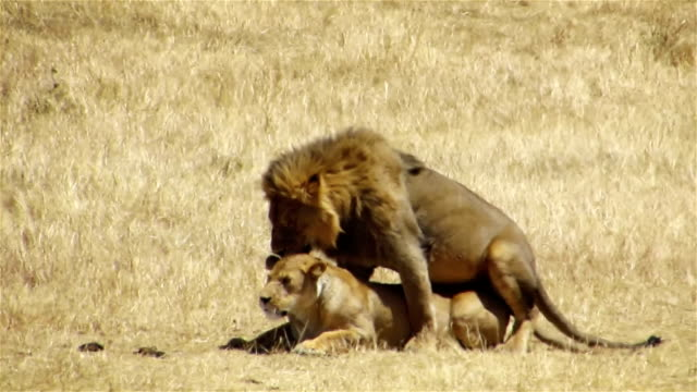 Black mane lions mating in Ngorongoro Conservation Area, Tanzania