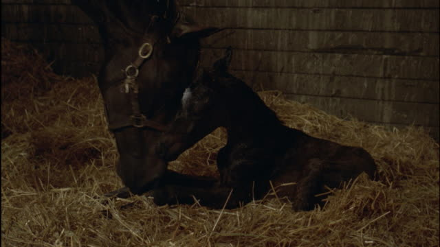 vídeos y material grabado en eventos de stock de cu black mare licking newborn foal in stable - establo