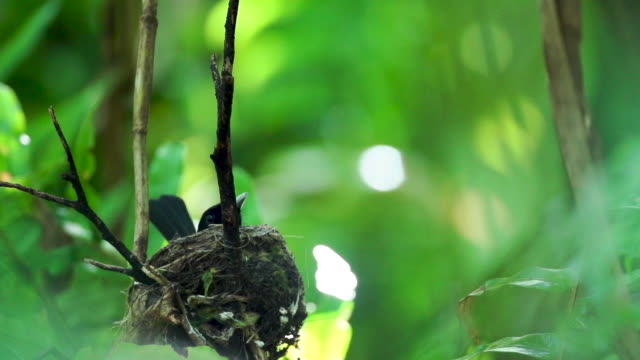 Black monarch flycatcher takes off from nesting site, high speed
