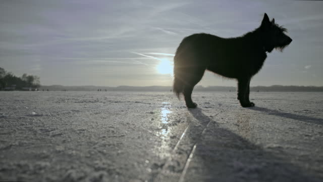 black mongrel dog is standing and waiting on a frozen lake while sunset - 30 seconds or greater stock videos & royalty-free footage