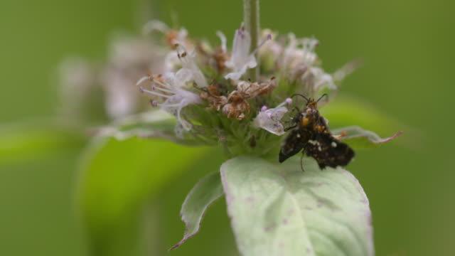 Black moth feeding on mint flower