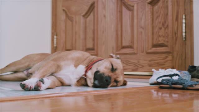 bocca nero cur cane che dorme sul pavimento accanto alla porta - dentro video stock e b–roll