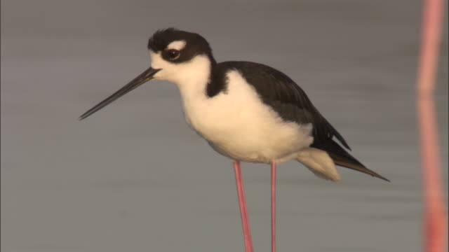 black necked stilt calls, isabela, galapagos islands available in hd. - maul stock-videos und b-roll-filmmaterial