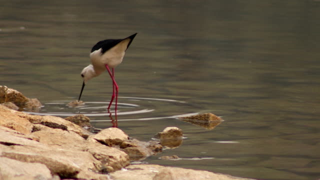 black necked stilt searching food in lake water, india - water bird stock videos & royalty-free footage