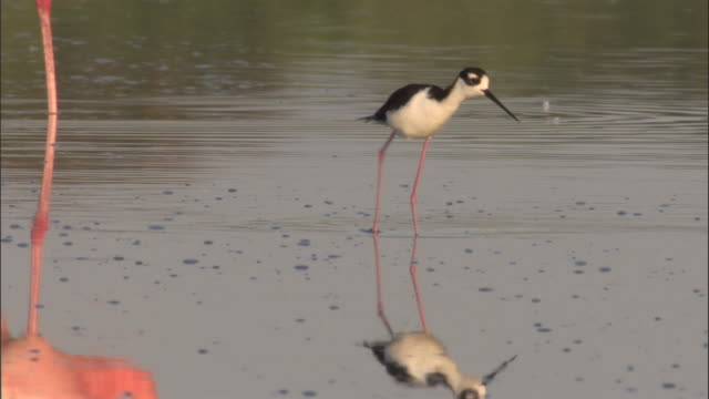 black necked stilt walks through legs of flamingos, isabela, galapagos islands available in hd. - stilts stock videos and b-roll footage