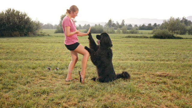 slo mo black newfoundland giving high five to female owner - high five stock videos & royalty-free footage