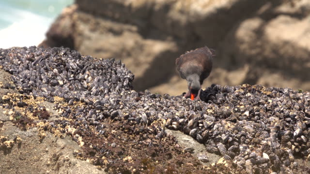 black oystercatcher feeds false klamath cove redwood national park california - low tide stock videos & royalty-free footage