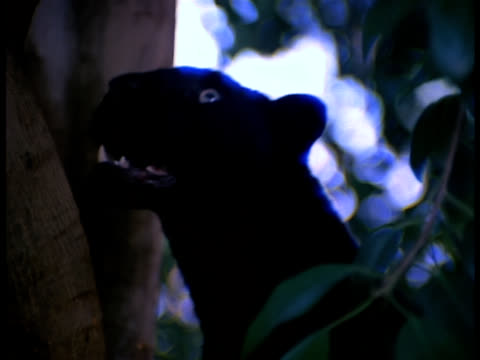 A black panther climbs up into a tree.