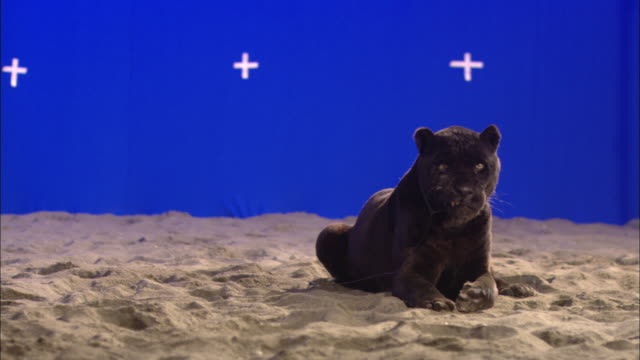 A black panther lies on sand in front of a blue screen and licks its chops.