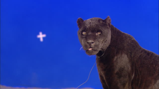 A black panther sits in front of a blue screen, then walks away.