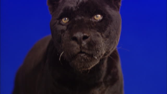 A black panther stands in front of a blue screen and looks around.