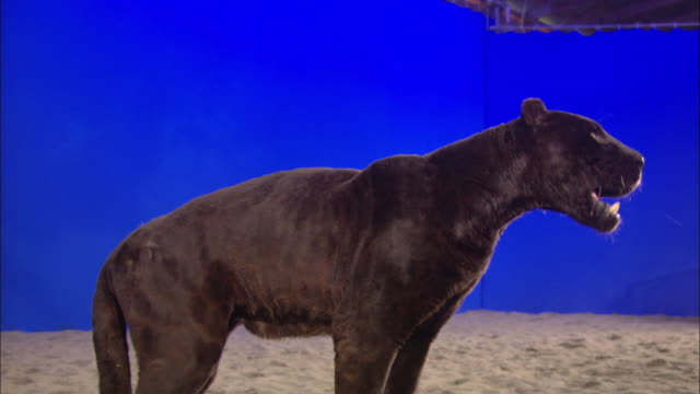 A black panther stands in front of a blue screen, then licks a stick held by a hand.
