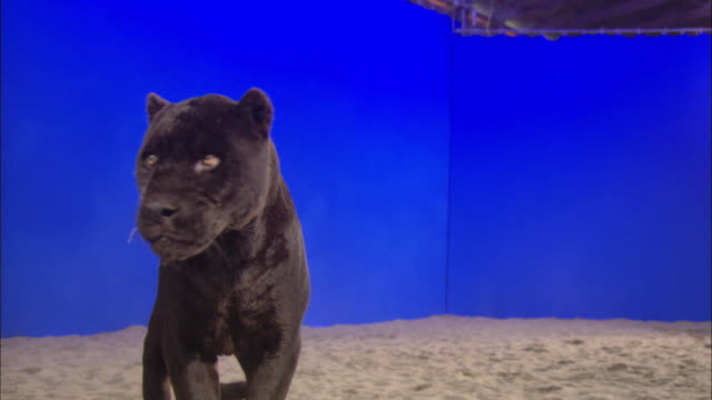 A black panther stands in the sand and pants in front of a blue screen.