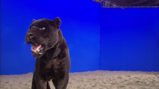A black panther stands in the sand looking around in front of a blue screen.