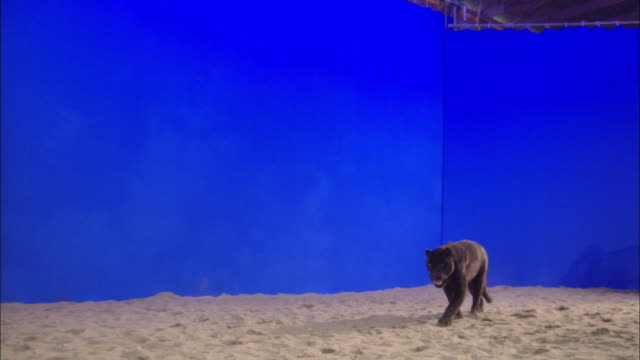 A black panther walks across a sandy enclosure in front of a blue screen.