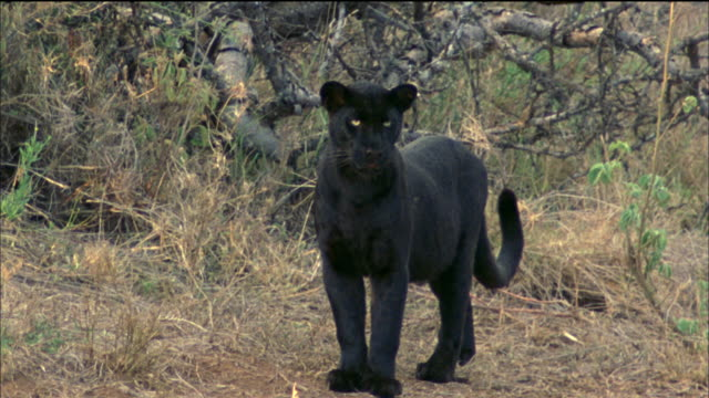 black panther walks through forest available in hd. - bedrohte tierart stock-videos und b-roll-filmmaterial