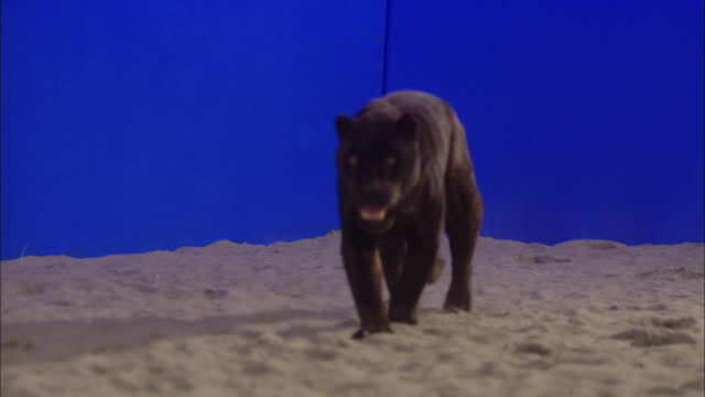 A black panther walks through sand in front of a blue screen.