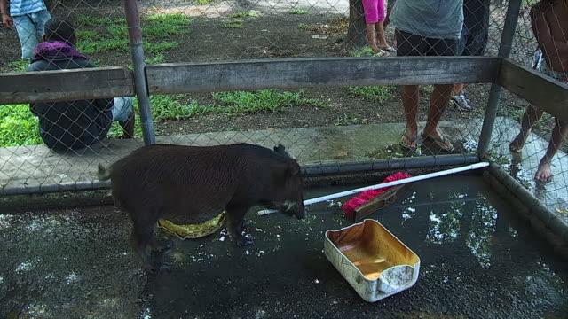 stockvideo's en b-roll-footage met a black pig in the cage - neus van een dier