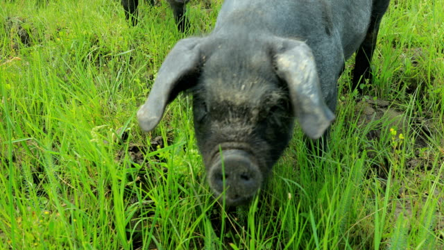 black pig - pig stock videos and b-roll footage