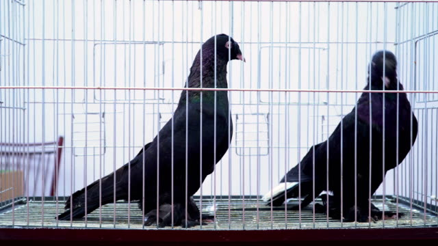 black pigeons - gabbietta per animali video stock e b–roll
