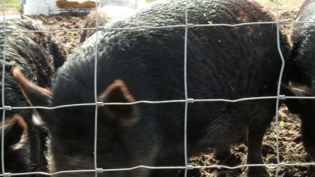 black pigs scrounging for food - rubble stock videos & royalty-free footage