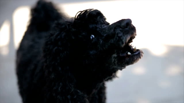 Black poodle barking,close up