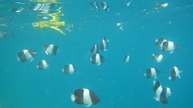 black pyramid butterflyfish (hemitaurichthys zoster) in maldivian atoll tropical lagoon - unterwasserkamera stock-videos und b-roll-filmmaterial