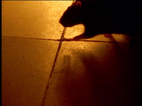 Black rat scurries across tiled floor, India