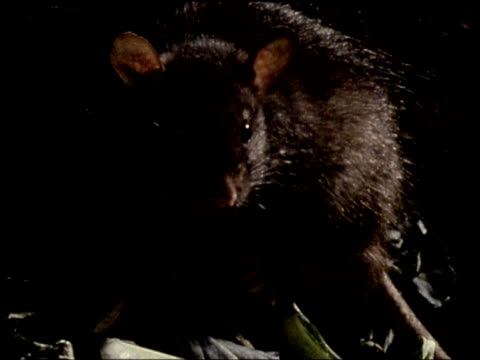 stockvideo's en b-roll-footage met black rat with twitching nose stares at camera - rat