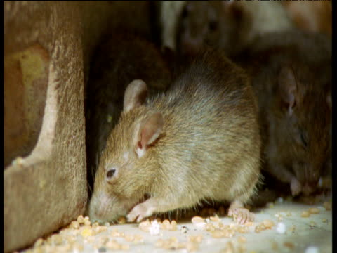 stockvideo's en b-roll-footage met black rats feed on grain on temple floor, deshnok, india - cereal plant