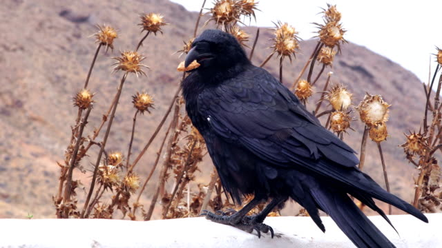 black raven eating a biscuit - fuerteventura - raven stock videos & royalty-free footage