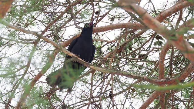black raven perched on a pine branch and croaks - audio available stock-videos und b-roll-filmmaterial