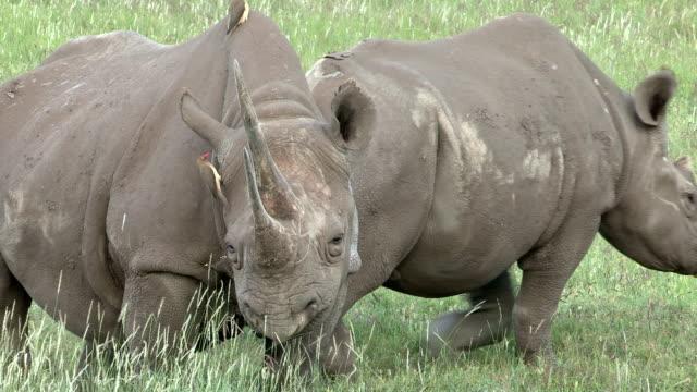 black rhino adult female and sub adult calf on grassy plains - animal welfare stock videos and b-roll footage