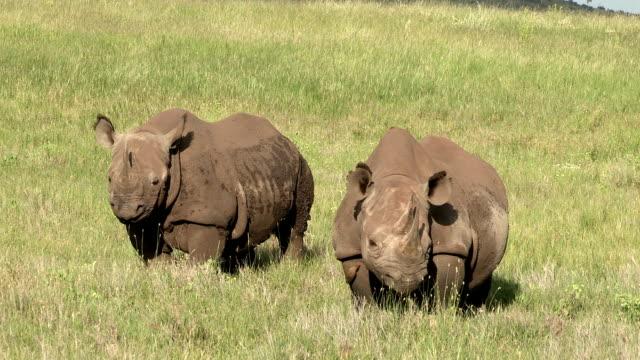Black Rhino adult female and sub adult calf on grassy plains