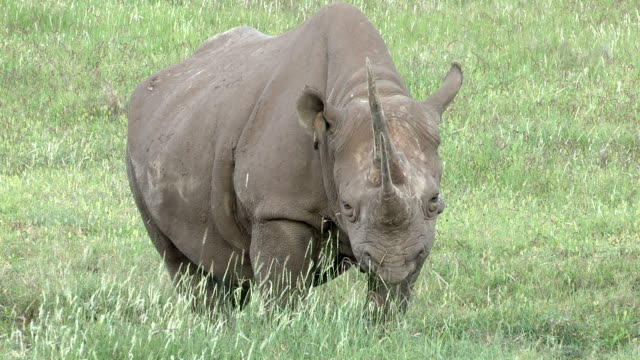 Black Rhino adult female with red billed oxpeckers on grassy plains