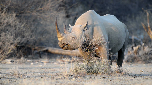 stockvideo's en b-roll-footage met black rhino feeding on a thornbush - namibië