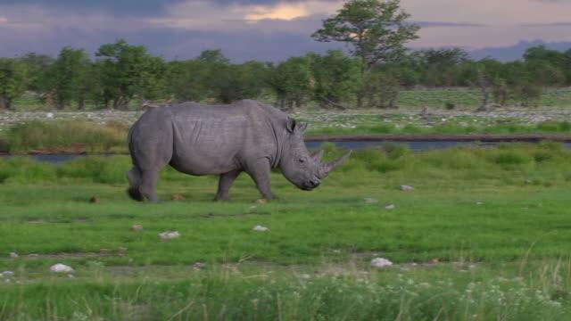 Black Rhino in the Etosha National Park