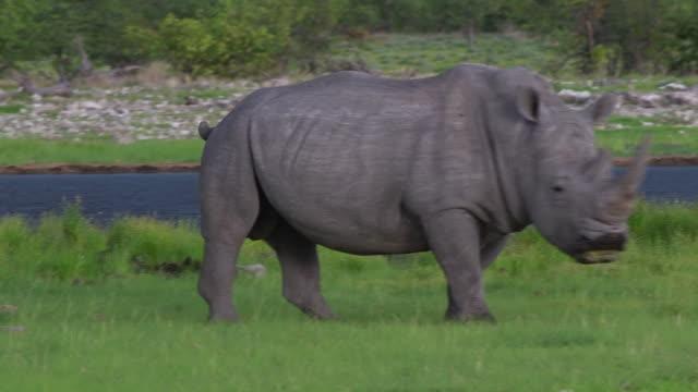 vídeos de stock, filmes e b-roll de rinoceronte-negro no parque nacional de etosha - deserto de kalahari