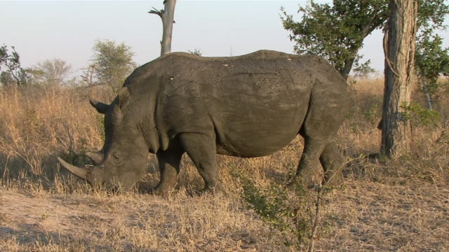 ws pan black rhino (diceros bicornis) walking and grazing in kruger national park / mpumalanga province, south africa - mpumalanga province stock videos and b-roll footage